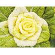黄色いバラのように見える新種の白菜、ビタミンが豊富―中国メディア