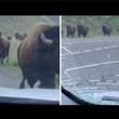 暴走したアメリカバイソンが車に衝突 米イエローストーン国立公園で<動画あり>