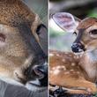 その瞳はブルーサファイアのように輝いていた。青い目を持つ子鹿が保護される(アメリカ)