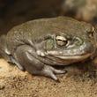 「ヒキガエル・ハイ」ヒキガエルの分泌物を吸引すると、半数以上の人は1か月間ハッピーな気分になれる(オランダ研究)