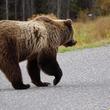 米ワシントン州に愛嬌の「手振り」熊が人気!