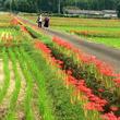 佐賀のへそ・江北町花祭地区で彼岸花まつり開催