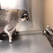 「オマエ何?」「アンタ誰?」アライグマのティトとチートのどきどきファーストエンカウンター