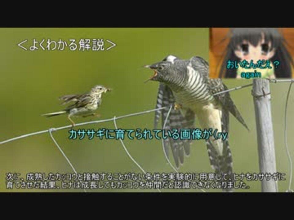 ゆっくり動物雑学「カッコウが交尾の相手を間違えないのは ...